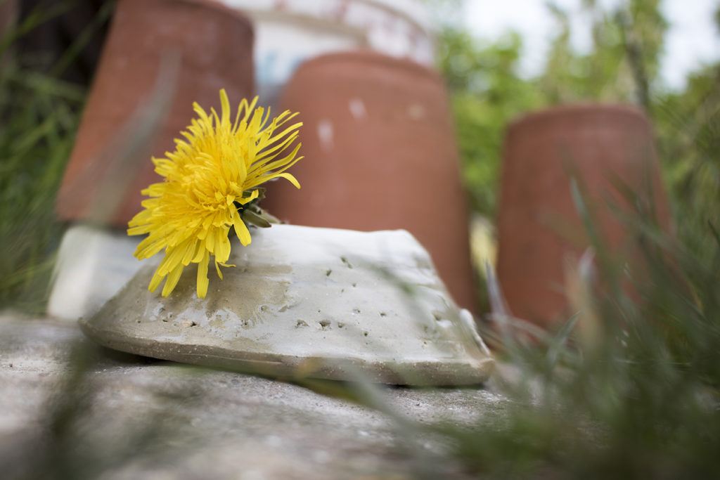 dandelion in a pot with bokeh plant pots